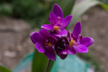 flower of orchid in color purple