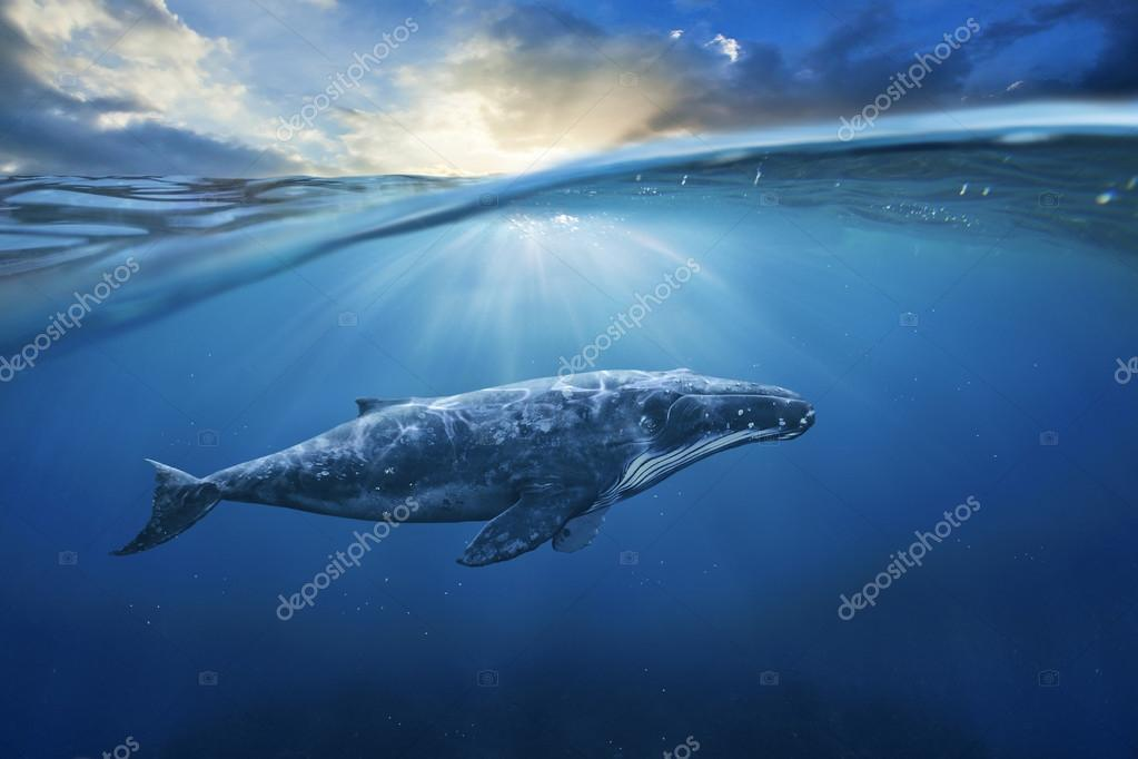 big grey whale in ocean