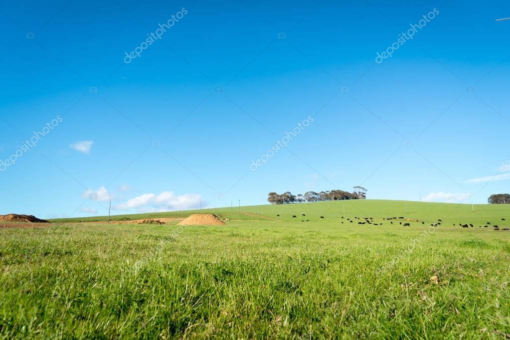 Generic green farmland with black cows