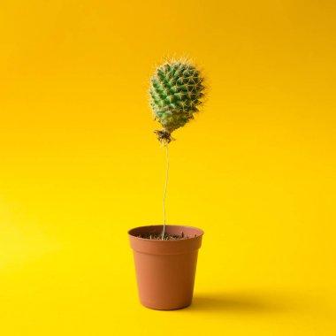 Cactus balloon in plant pot