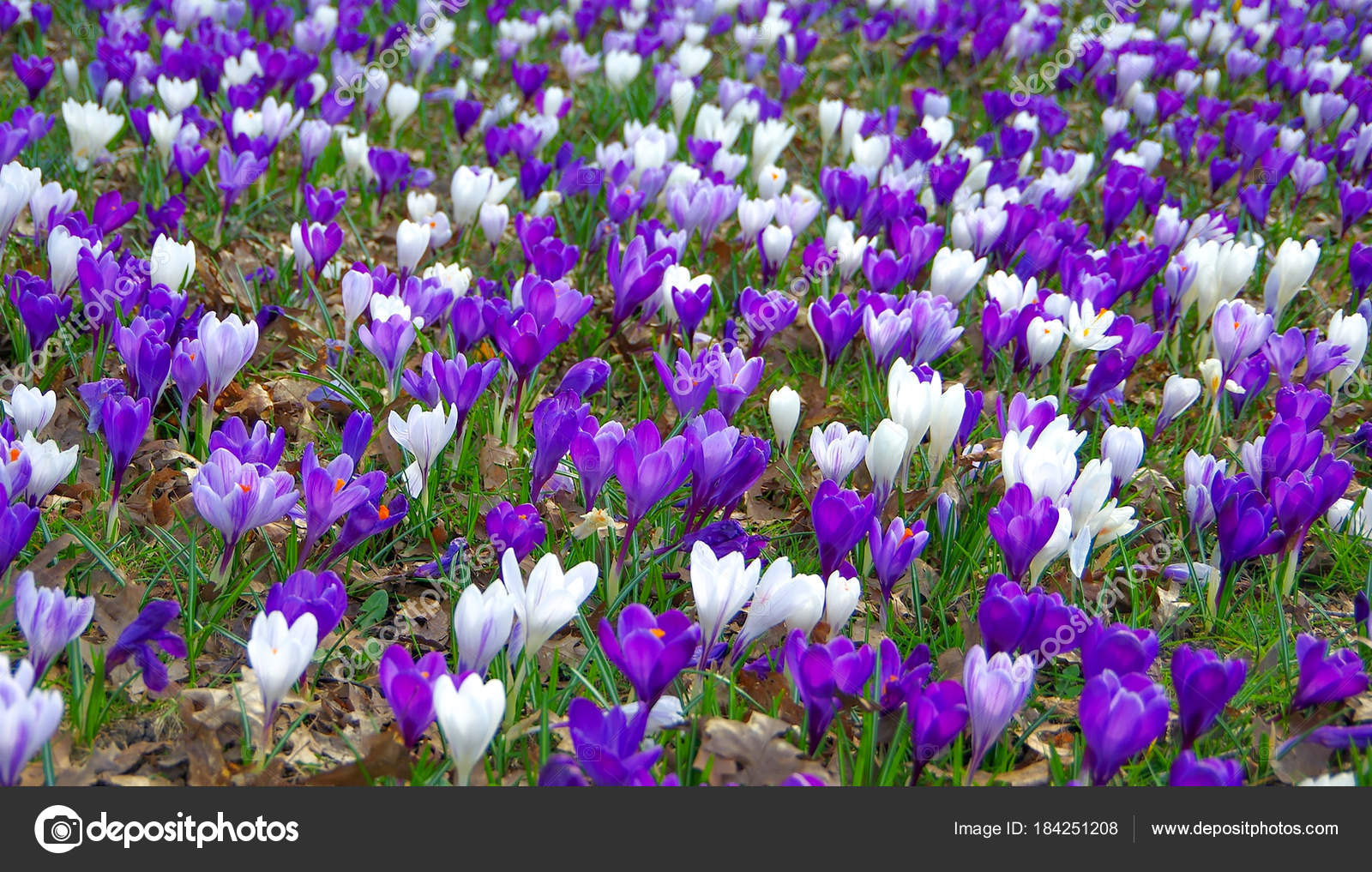 Crocus Flowers Opened In Early Spring Stock Photo Cutworld