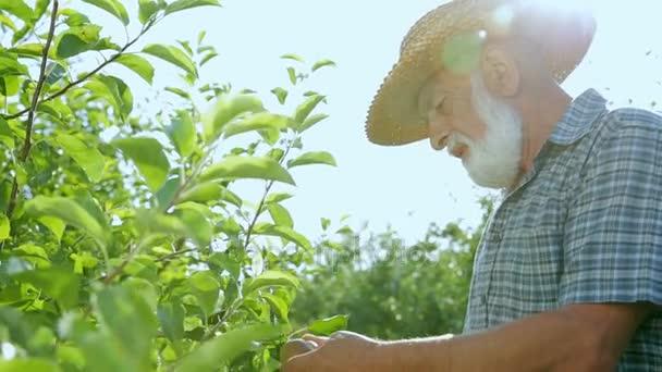 Opa betrachtet die Apfelernte in ihrem Garten. Eleganter Bart vom alten Gärtner