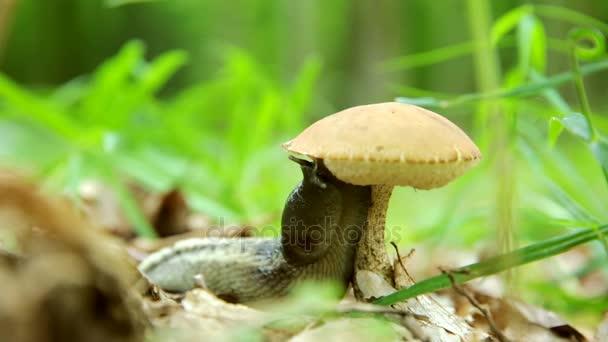 Schnecke frisst Pilze. ein ökologisch reines Produkt der Natur