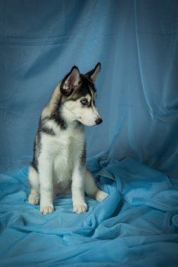 dog breed husky on a blue background, puppies of husky on a blue