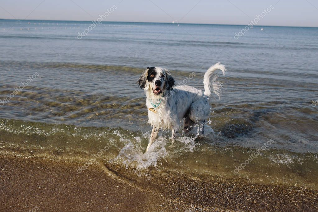 dog running in sea water