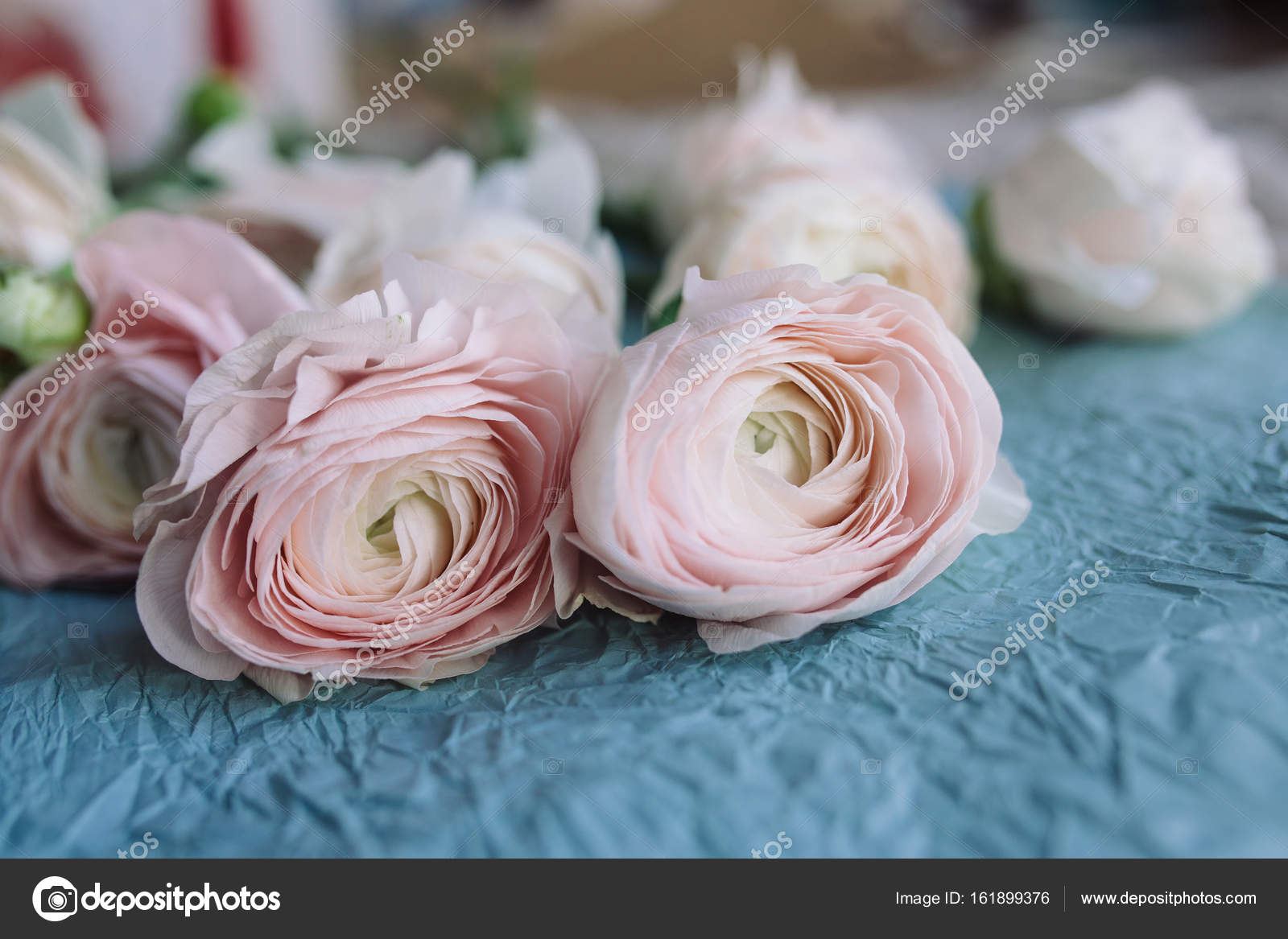 Pale Pink And White Ranunculus Stock Photo Skvalval 161899376