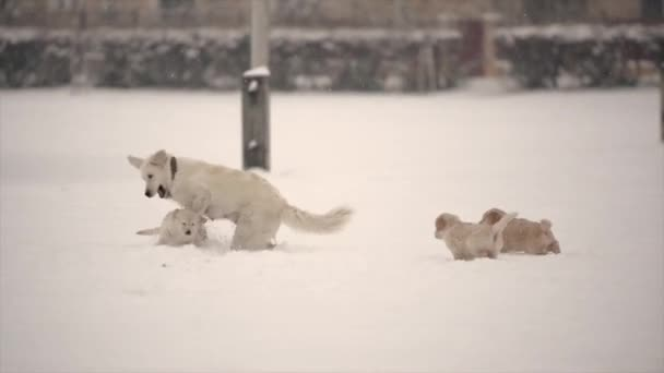 Child Boy play with Golden Retriever Dogs Outdoors in winter time