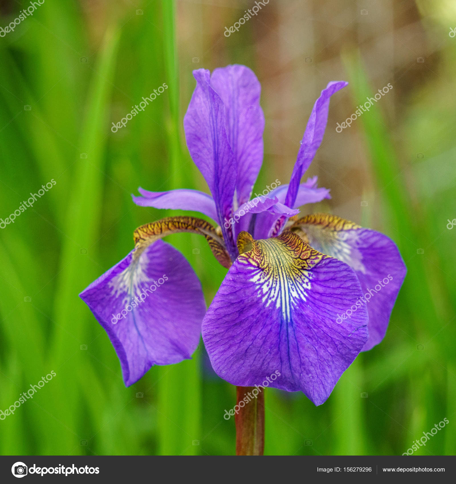 Single Iris Flower With Blure Background In The Garden Stock Photo