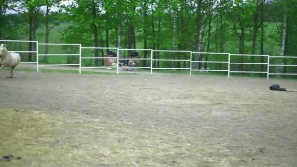 horse runs gallop in a circle, on a bridle hd