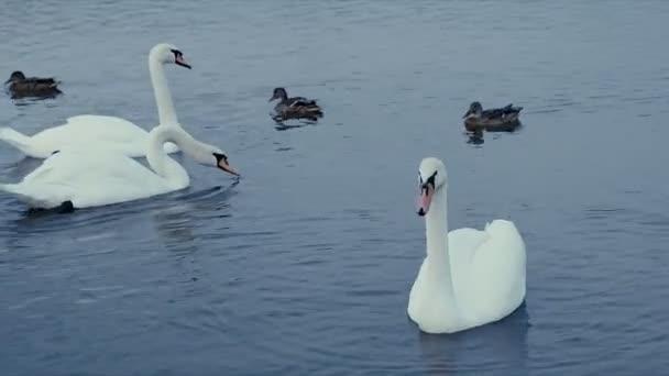 a víz a fehér hattyú