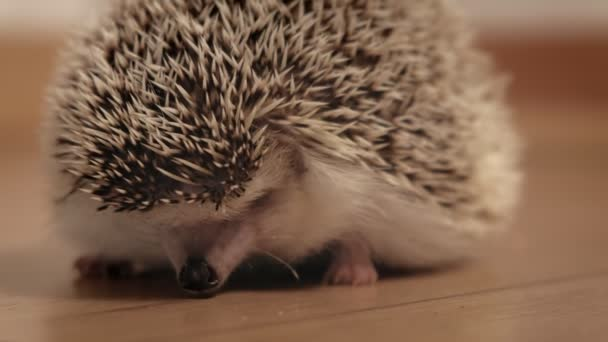 Pet hedgehog in the middle of the room.