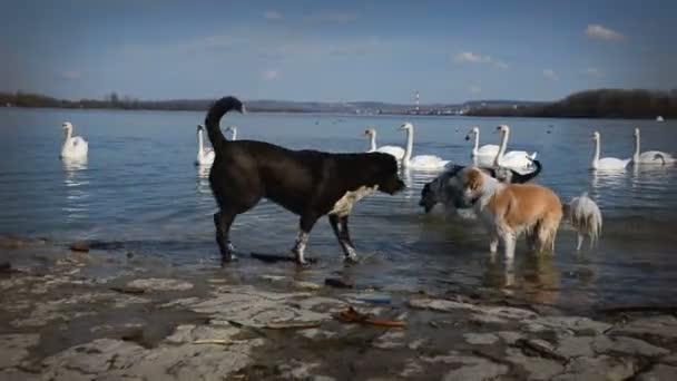 Labutě a psi hrají na pěkný jarní den u řeky