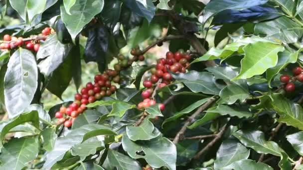 kávové bobule na plantáži caffee.