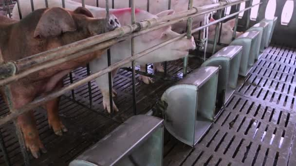 Pigs in the pig farm.