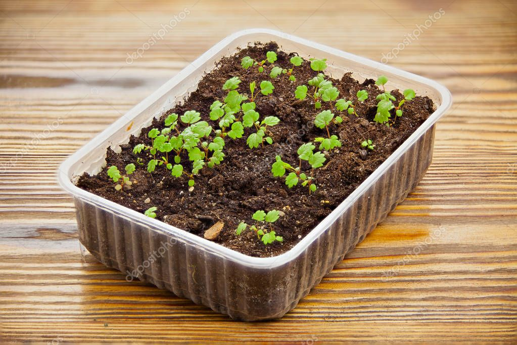 remontant strawberry seedlings in pot on table
