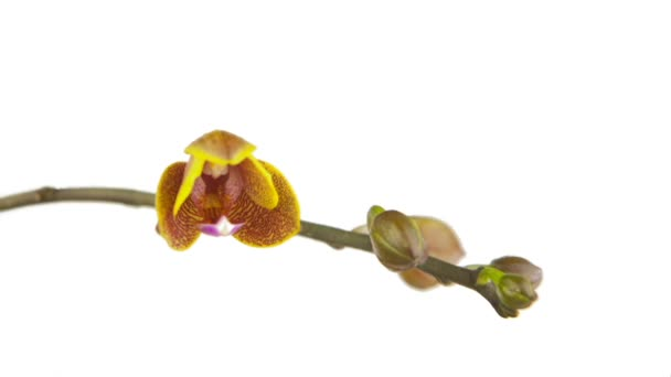 beautiful orchid flower blooming on white background