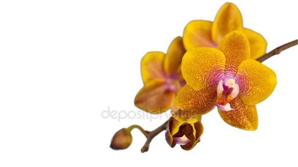 krásný květ orchideje kvetoucí na bílém pozadí