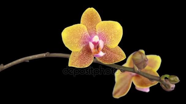 schöne Orchideenblume blüht