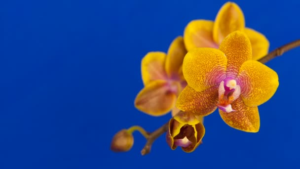 beautiful orchid flower blooming on blue background