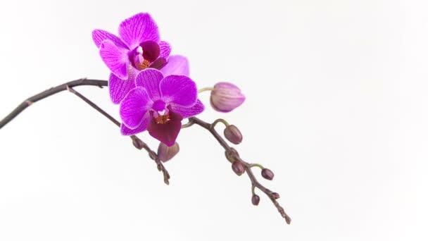 Szép ritka orchidea a pot fehér háttér