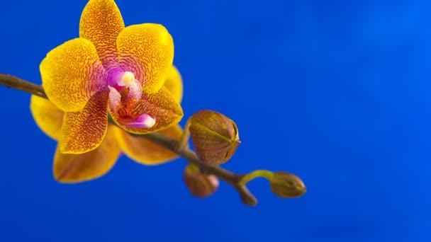 Krásné vzácné orchideje v hrnci na modrém pozadí