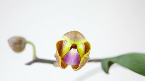 Krásné vzácné orchideje v hrnci na bílém pozadí