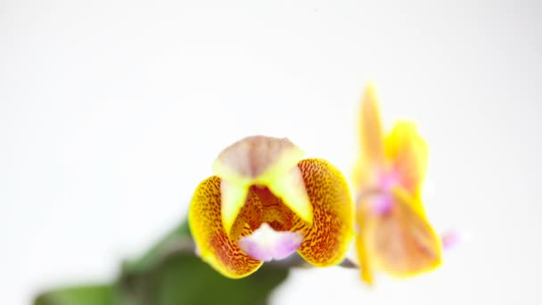 schöne seltene Orchidee im Topf auf weißem Hintergrund