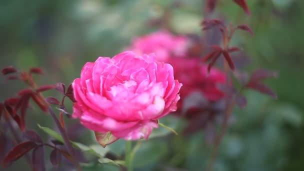 krásná růžová růže květiny na zeleném pozadí
