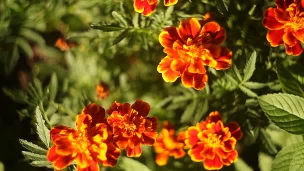 beautiful   Orange  marigold on green background