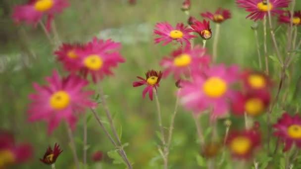 krásné růžové chryzantémy na zeleném pozadí