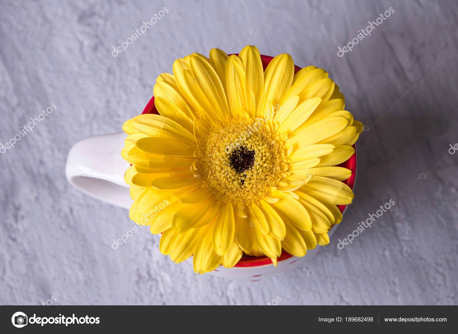 Gerbera Daisy Yellow Flower Im Tea Cup On Grey Background Stock
