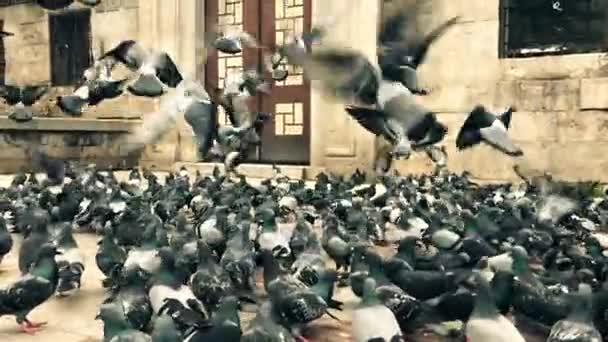 hundreds of flying and eating pigeons, 120 fps super slow motion