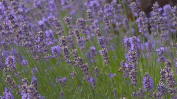 včely v levandulové květy