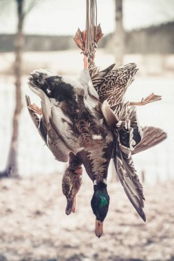 a couple of killed ducks