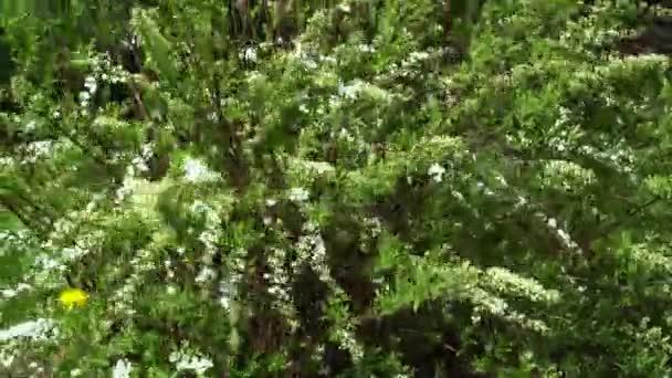 Kvetení krásné spirei Bush na začátku jara v zahradě.