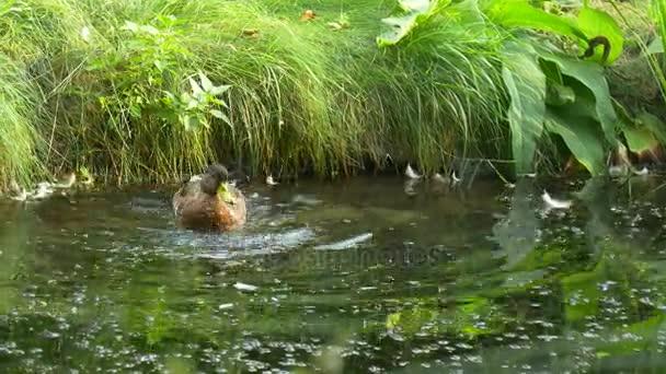 Osamělý divoké kachny se koupe v rybníku