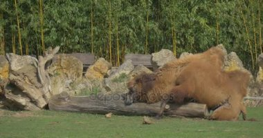 Camel Lies on a Huge Log
