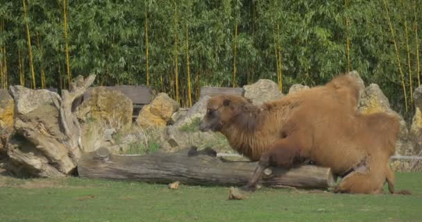 Camel Lies on a Huge Log