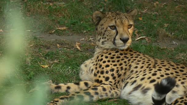 Sledování pro návštěvníky Zoo s gepard