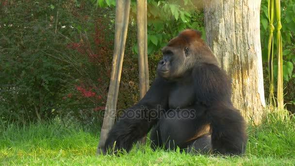 Large Black Gorilla Sitting on Green Grass