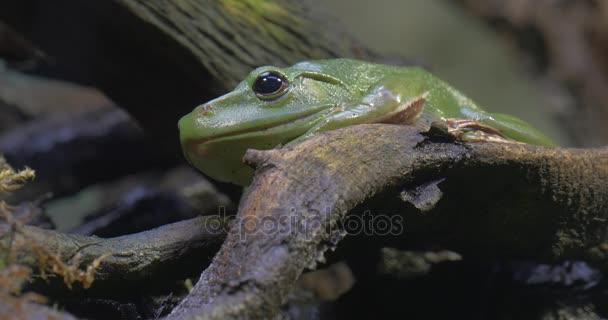 Zelená žába Rhacophorus Dennysi v lese žába je kvákání sedí na pobočku výlet do Zoo příroda Wildlife cestovního ruchu biologie zoologie