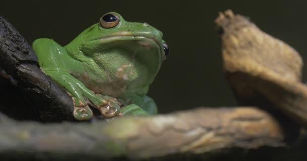 leuchtend grüner Laubfrosch inmitten von Treibholz Exkursion in den Zoo Natur Wildtiertourismus Biologie Zoologie Studium von Tieren Frosch quakt sitzend auf einem Ast
