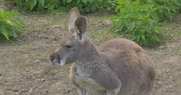 Kangaroo is Looking at Camera Summer Day in Zoo Observing of Behavior of Animals Zoology Environmental Protection Wildlife and Nature Studying Excursion
