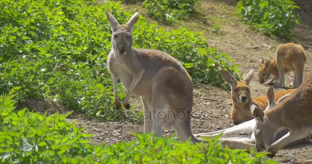 Kangaroos on Green Grass Animal is Licking Itself Feeding in Summer Day Observing of Behavior of Animals Environmental Protection Wildlife Studying