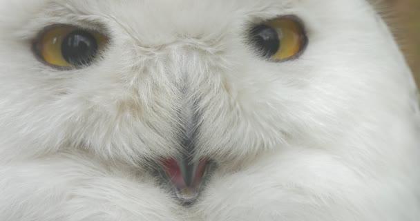 Polar Eule öffnet seinen Schnabel blinkt die Augen Tiere Beobachtung in einem Zoo Ausflug Biologie Zoologie Umweltschutz Tierwelt und Natur studieren
