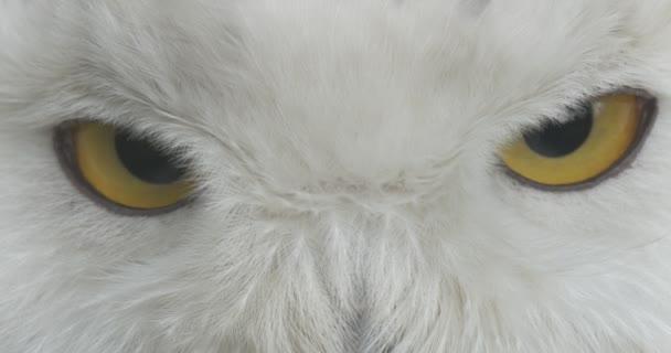 Žluté oči polární sova před kamerou bílá hlava ptáka pozorování zvířat venku exkurze biologie zoologie ochrany životního prostředí