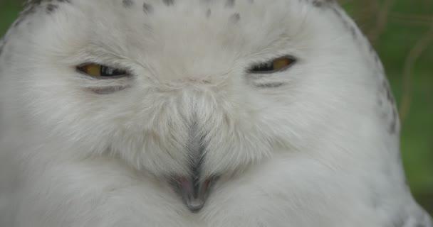 Polar Eule Gesicht Vogel blinkt die Augen Zoo Sommertag Tiere Beobachtung Ausflug Biologie Zoologie Umweltschutz Tierwelt und Natur studieren