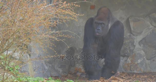 Gorilla Near the Stone Wall