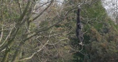 Big Black Monkey Keeps a Branch by One Hand