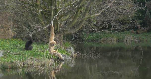 Gelber Langarmiger Affe sitzt am Flussufer